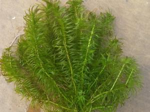 Elodea naias, plantes oxygénante