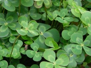 Fougère d'eau à quatre feuilles, trèfle d'eau