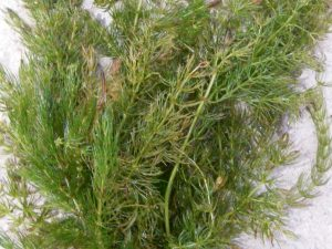 cornifle nageante. plantes oxygénante