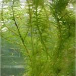 Plantes submergées