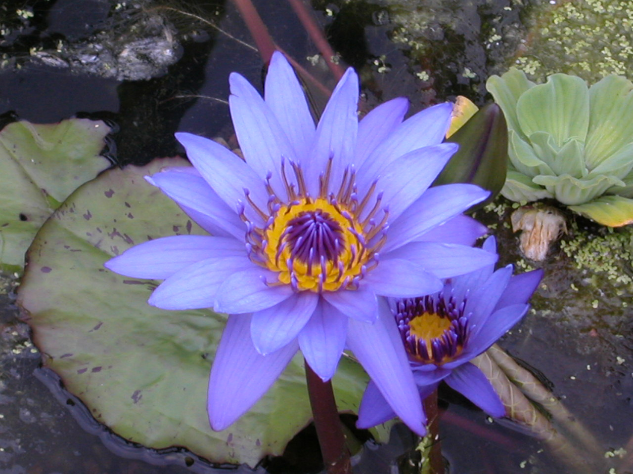 plante aquatique quebec