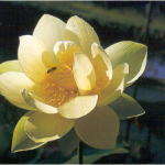 Nelumbo (lotus)