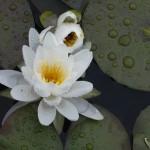 Plantes à feuilles flottantes rustiques (nymphéas rustiques)