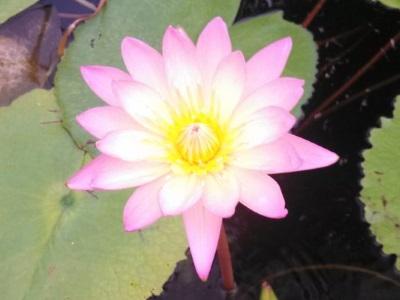 nénuphar, plante à feuille flottantes, nymphéas, tropical, rose