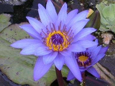nénuphar, plante à feuille flottantes, nymphéas, tropical, bleu