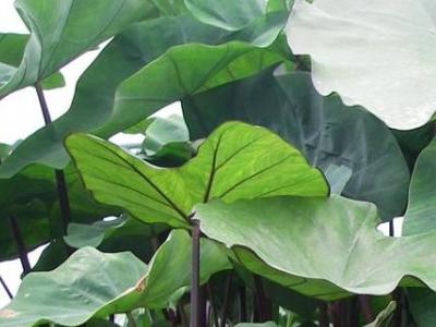 plante de bordure, bord de l'eau, lieu humide, immergeante, marécage, marais, tropical,