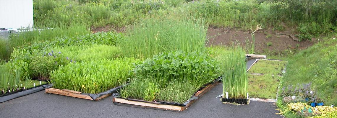 Production de plantes aquatiques indigènes et naturalisées (hydrophytes et hélophytes)
