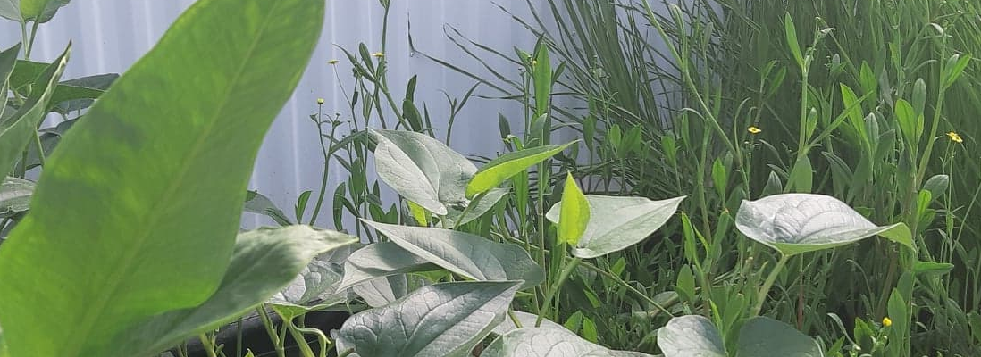 AquaPlantes, plante aquatique